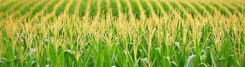 Поле с зелеными ростками